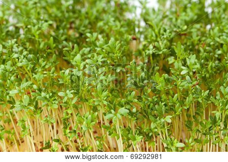 Close up of  Fresh Cress seedlings . The healthy diet