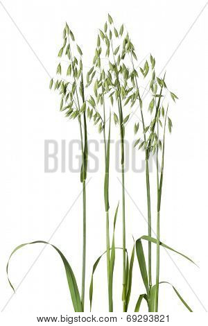 Fresh oat plant on white background
