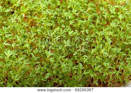 Close up of Fresh Cress seedlings. The healthy diet