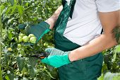 picture of prunes  - Gardener pruning tomatoes in a greenhouse horizontal - JPG