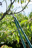 stock photo of prunes  - Vertical view of pruning in a orchard - JPG