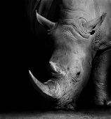 image of herbivorous  - Wild African White Rhino in Black and White - JPG