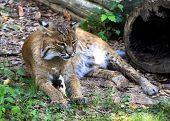 picture of bobcat  - Bobcat (Lynx rufus) resting in the forest