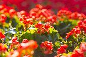 image of begonias  - Beautiful background of flowers big begonias  - JPG
