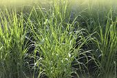 pic of ethanol  - switchgrass  - JPG