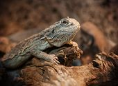 foto of terrarium  - bearded dragon in terrarium - JPG