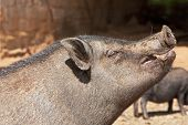 pic of pot bellied pig  - Landscape photograph of a pot - JPG