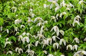 stock photo of climber plant  - climber garden plant with small white flowers during heavy rain  - JPG