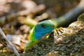stock photo of lizards  - Green lizard. Green lizard. Green lizard on rock