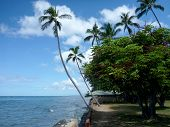 picture of waikiki  - Coconut trees hang over stone path along cliff shore next to shallow ocean waters of Waikiki looking into the pacific ocean at Leahi Beach Park on Oahu Hawaii on a beautiful day - JPG