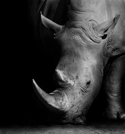 picture of herbivore animal  - Wild African White Rhino in Black and White - JPG