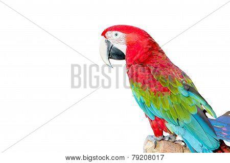 Beautiful Macaw Bird Isolated On White Background