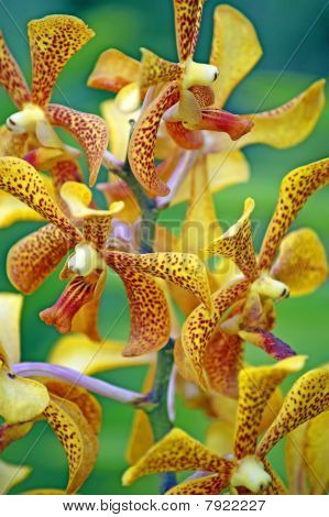 Colours of Borneo. Orchids of high-mountainous rainforests.