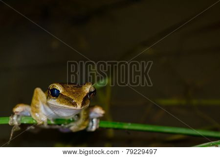 Yellow Frog On Leaf