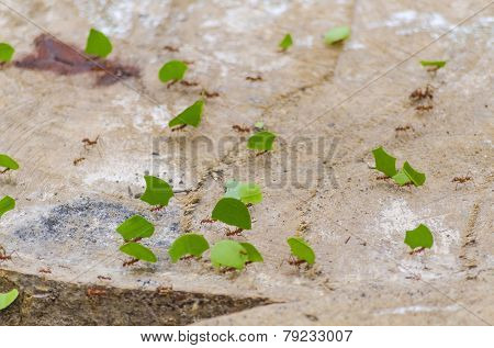 Ants carrying leaves in jungle, Bolivia