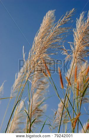 Pampas Grass Flowers