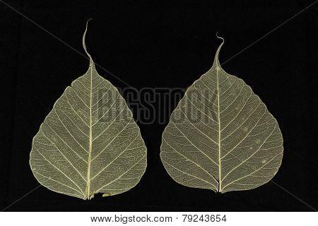 Bodhi Leaves