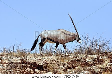 Gemsbok Against Sand Dune With Blue Sky