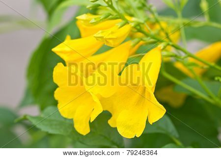 Yellow Elder, Yellow Bells, Or Trumpet Vine Flowers. [scientific Name :  Tecoma Stans]