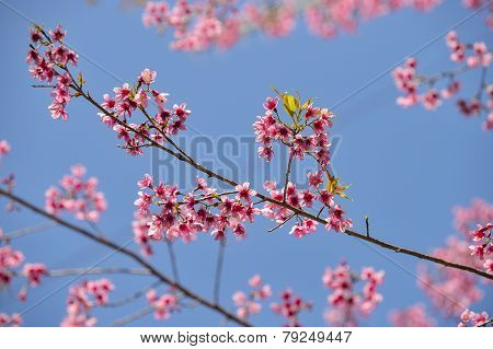Beautiful Wild Himalayan Cherry blossom in north of Thailand