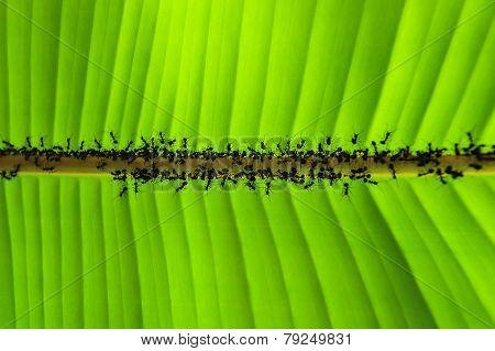 Banana Leaf And Ant .