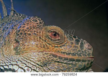 The mighty Green Iguana