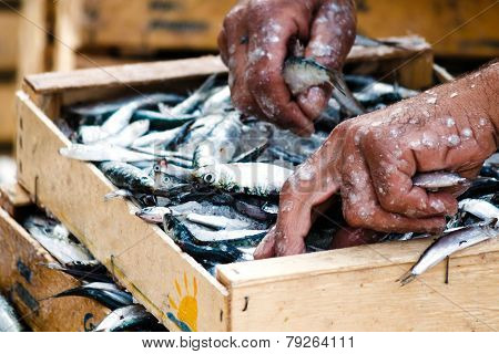 Fisherman packing fresh fish in wooden box