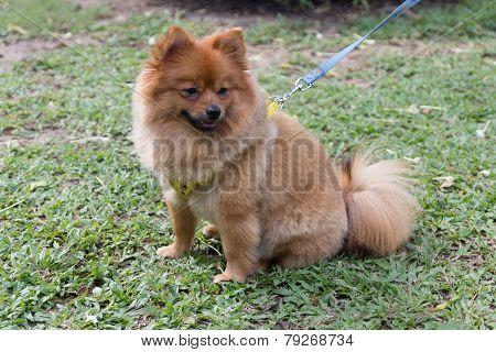 Chiwawa Dog
