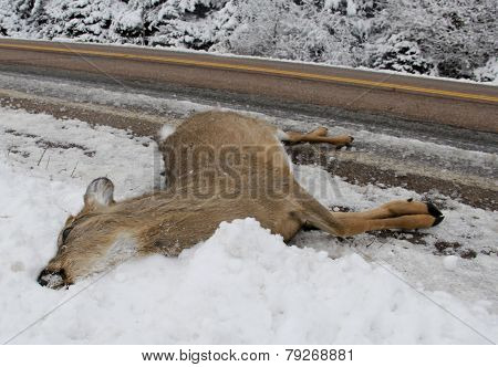 Whitetail Deer Dead From Car Accident