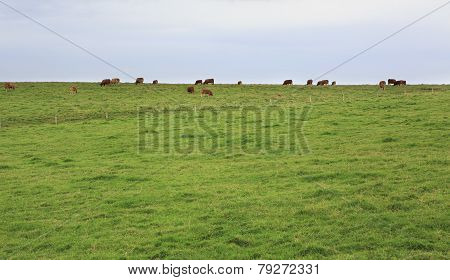 Cows graze on top of cliffs Moher.