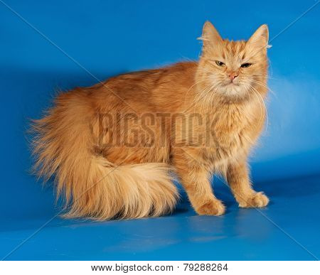 Ginger Fluffy Cat Standing On Blue