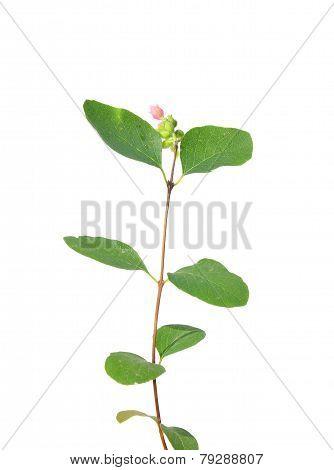 Common Snowberry (symphoricarpos Albus)