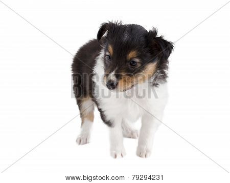 little puppy Sheltie