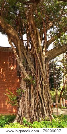 Large Banyan Tree