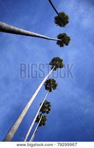 Bottom-up View To Tall Palm Trees And Blue Cloudy Sky