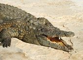 stock photo of crocodile  - Crocodiles  - JPG