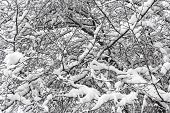 image of backwoods  - Winter branches of trees in hoarfrost on background snow and white sky - JPG