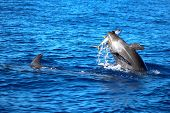 image of yellowfin tuna  - Dolphin has the catch of the day - JPG