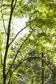image of canopy  - Sun shining through the green leaves of the canopy of a tall deciduous tree outdoors in woodland in a nature eco and environmental concept - JPG