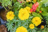 image of marigold  - Marigolds in garden  - JPG