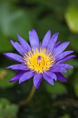 pic of fishbowl  - Violet blossom lotus in fishbowl stock photo - JPG