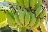 image of banana tree  - Bananas on a banana tree image on stock photo - JPG