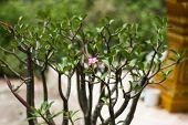 stock photo of desert-rose  - Adenium obesum  - JPG