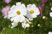 picture of english cottage garden  - A White Cosmos Flower in the garden - JPG
