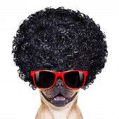 stock photo of afro hair  - cool french bulldog with sunglasses wearing a black afro look curly wig smiling at you isolated on white background - JPG