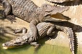 pic of crocodile  - Crocodile farm in Phuket Thailand - JPG