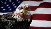foto of eagles  - Oil painting of a majestic Bald Eagle with the USA flag across it - JPG