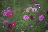 stock photo of cosmos  - Cosmos (Cosmos bipinnatus) is an annual and perennial plant in the family Asteraceae native to scrub and meadow areas in Americas. They are herbaceous perennial plants.