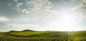 picture of grape  - panoramic view of grape plantation of Napa valley in summer time - JPG