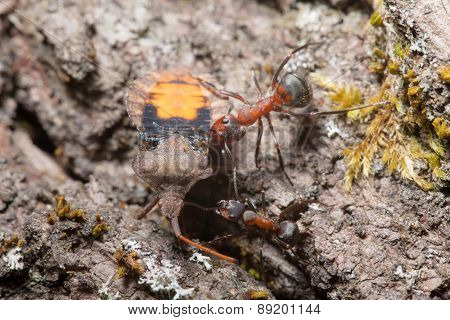 Ants Drags A Large Beetle